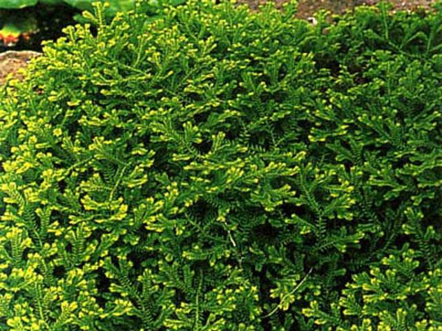 Селагинелла с крошечными листочками
