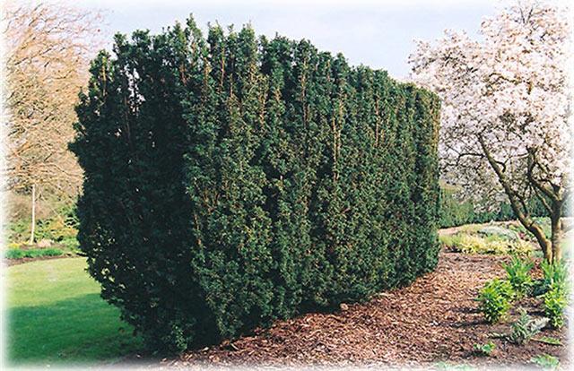 Тиссовая изгородь