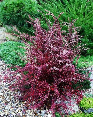 Яркая листва барбариса