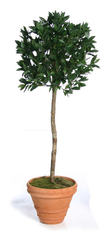Миниатюрное деревце лавра