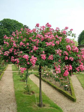 Розы на штамбе во Франции